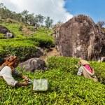 Постер, плакат: Indian women harvest tea leaves at tea plantation at Munnar