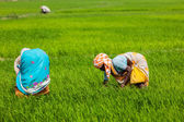 Indian women harvests rice in the field — Stock Photo