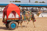 "Camel ""taxi"" for tourists at Pushkar camel fair (Pushkar Mela) — Stock Photo"