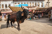 Indian cow in the street of India — Stock Photo