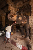 Unidentified Indian man feeding temple elephant — Stock Photo