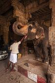Unidentified Indian man feeding temple elephant — Stock Photo