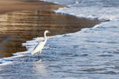 Little Egret (Egretta garzetta) — Stock Photo