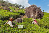 Indian women harvest tea leaves at tea plantation at Munnar — Stock Photo