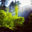 Morning forest with sunrays — Stock Photo #49563365