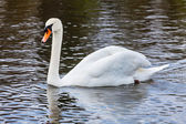 Mute Swan (Cygnus olor) in lake — Foto Stock
