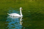 Mute Swan (Cygnus olor) in lake — Стоковое фото