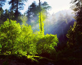 Morning forest with sunrays — Stock Photo