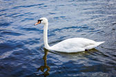 Mute Swan (Cygnus olor) in lake — Stock fotografie
