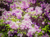 Lilac in spring — Stock Photo