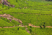 Green tea plantations in Munnar — Stock Photo