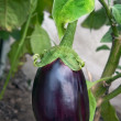 Stock Photo: Aubergine