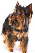 小猎犬 — 图库照片