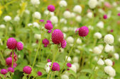 Pink and white clower flowers — Stock Photo