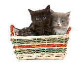 Tree fluffy kittens — Stock Photo
