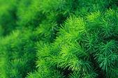 Conifer tree background — Stock Photo