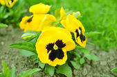 Yellow pansy — Stock Photo