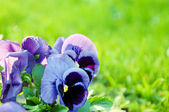 Violet pansy — Stock Photo