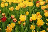 Hermosos tulipanes amarillos — Foto de Stock