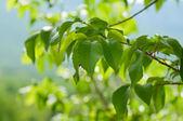 Hojas de primavera — Foto de Stock