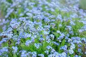Flores nomeolvides — Foto de Stock