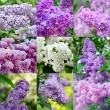 Lilac collage — Stock Photo