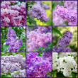Royalty-Free Stock Photo: Lilac collage