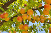 Plum tree with fruits — Stok fotoğraf