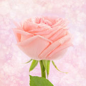 Pink rose card — Stock Photo