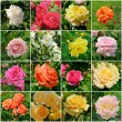 Rose flowers collage — Stock Photo