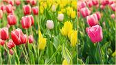 Tulips collage — Stock Photo