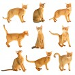 Abyssinian cat collection — Stock Photo #19662181