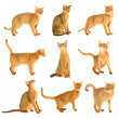 Abyssinian cat collection - Stock Photo