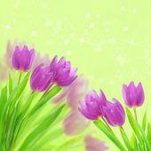 Fiori di tulipano sul bianco — Foto Stock