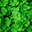 Clover plants — Stock Photo