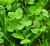 Clover plants — Stockfoto