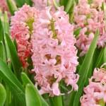 Pink hyacinth — Stock Photo