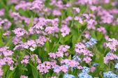 Flores miosótis — Fotografia Stock