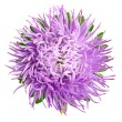 Aster isolated — Stock Photo