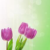 Tulip flowers background — Stock Photo