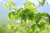 Spring leaves — Fotografia Stock