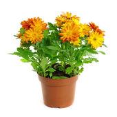 オレンジ色の菊 — ストック写真