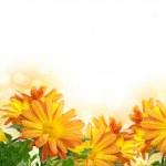 Постер, плакат: Chrysanthemum frame