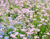 Forget-me-not flowers — Fotografia Stock