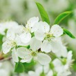 Cherry flowers — Stock Photo #24972259