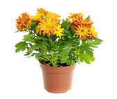 Orange chrysanthemum — Stock Photo