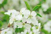 Cherry flowers — Fotografia Stock
