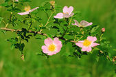 Blommor av nypon — Stockfoto