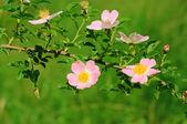 Flowers of dog-rose — Stock Photo