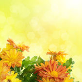 Chrysanthemum floral background — Stock Photo
